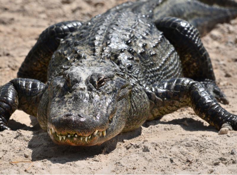 Рекорд: Американец улови чудовищен алигатор  СНИМКА
