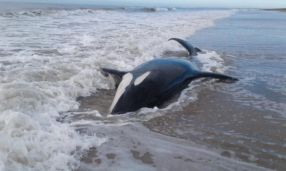 7 косатки на прага на смъртта! Бедстват на аржентински плаж СНИМКИ