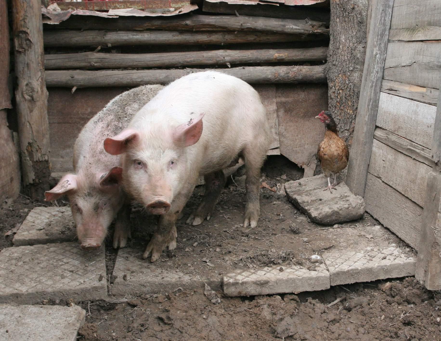 Регистрирай свинята си за левче… С костюм в кочината – новият почин за битка с чумата
