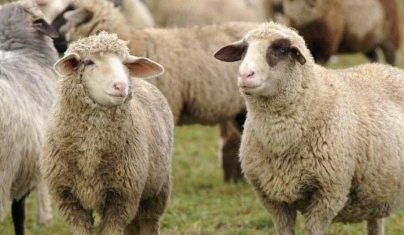 От Мадрид до Радомирци – Снежа, Светомир, овцете. И какво сирене само!?