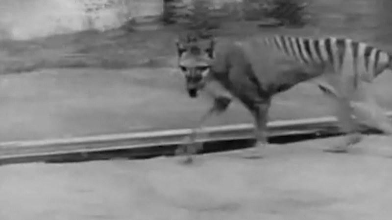 Възможно ли е? Тасманийският тигър, изчезнал през 1936 г., сниман!