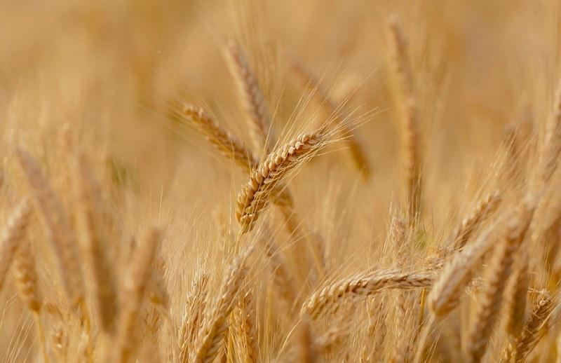 Златна Добруджа и BG пшеница за милиони! Четвърти в Европа сме по износ! - glas.bg