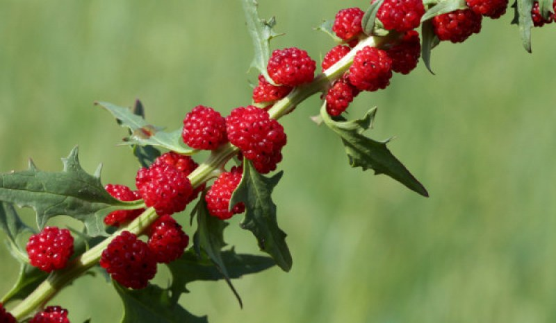 Гърличе – малко познатата билка, използвана от Левски. Какво лекува?