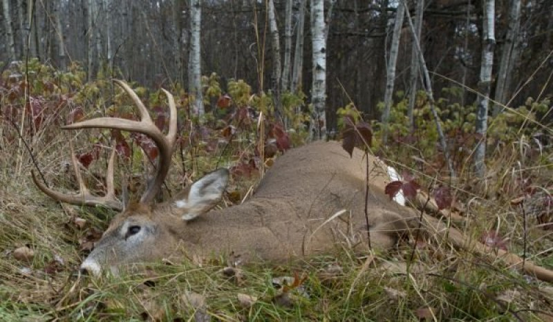 Кмет и ловци спипани над  разстрелян елен в Странджа, разфасовали го!