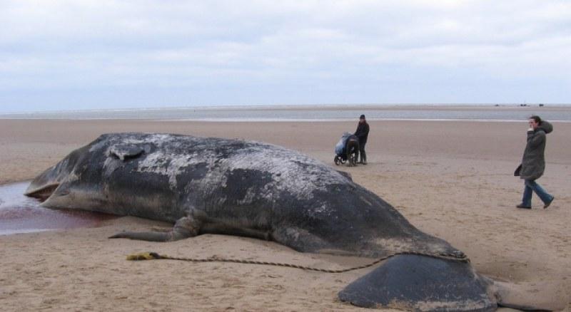 Страшно! Откриха 100 кг рибарски мрежи, торбички и пластмасови чашки в стомаха на мъртъв кит
