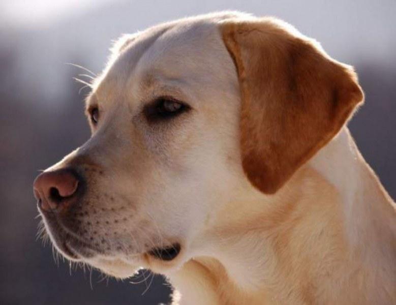 Жена изведе кучето си на разходка и... то се озова с куршум! Кой простреля лабрадора?