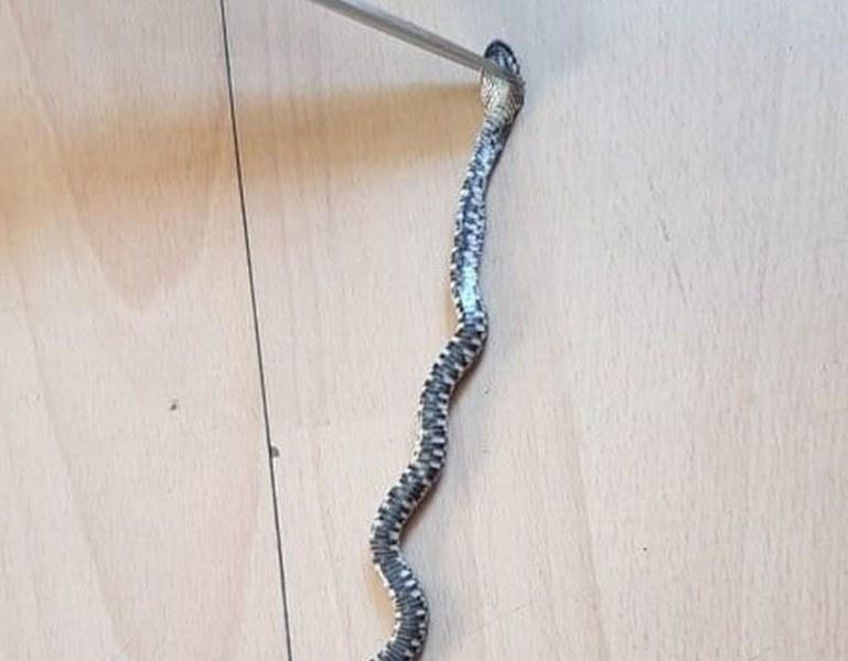 Змия се шмугна в офис на ДАИ, служителите се разбягаха, а сега ще протестират... СНИМКИ