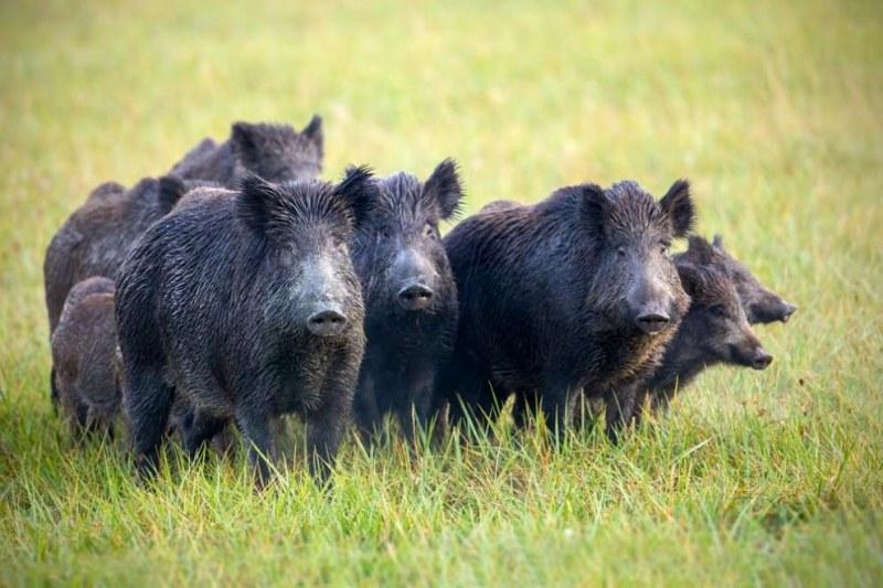 Собственик на частно стопанство край Пазарджик лови диви прасета с капани! Глобяват го