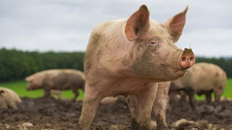 Огромни прасета изядоха стопанина си във ферма