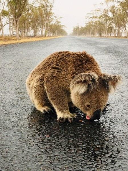 Трогателно: Прежадняла коала пие вода на пътя  ВИДЕО