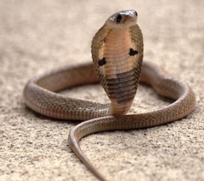 Асеновградчанин отглежда отровни змии в дома си, съседите на нокти!