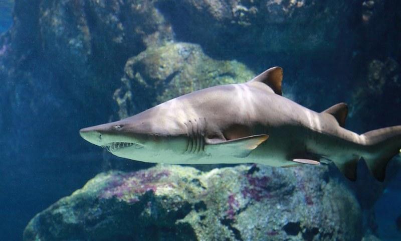 Откриха нови видове ходещи акули! ВИДЕО