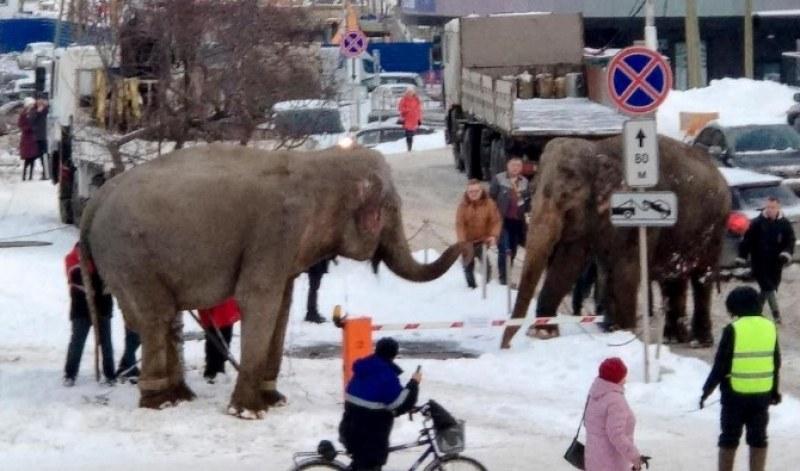 Слонове избягаха от цирк, радваха се на снега  ВИДЕО
