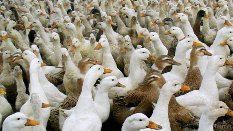 Откриха огнище на птичи грип до Пловдив!