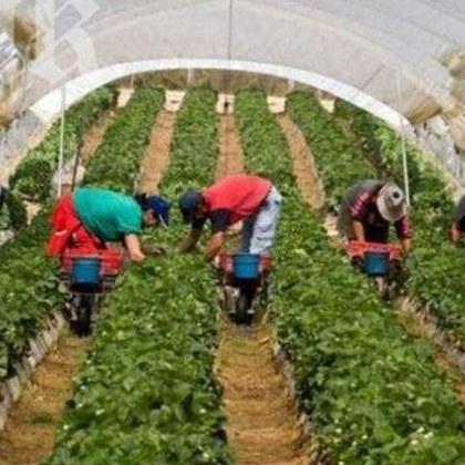 Великобритания се сети за работниците от Източна Европа! Кой ще прибере реколтата?