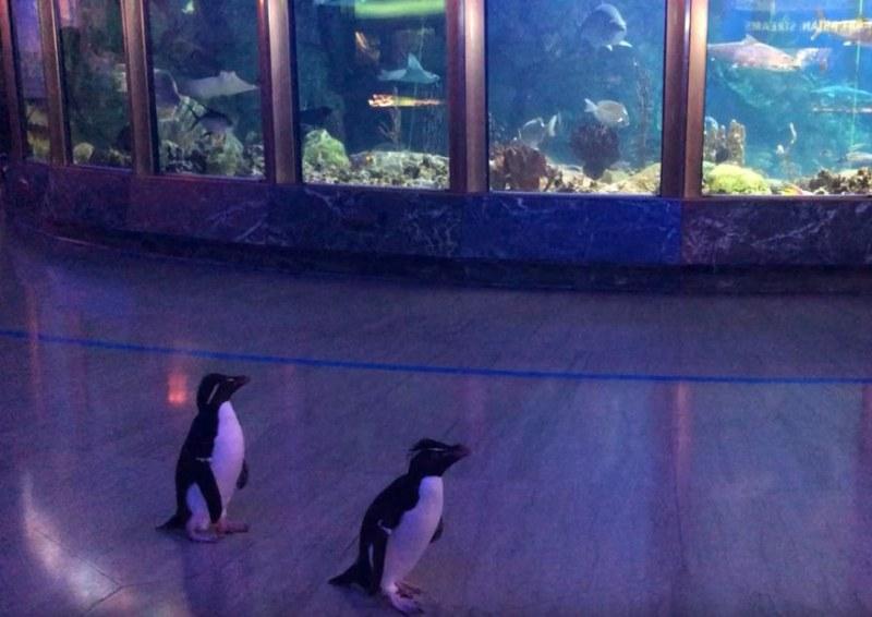Пингвинът, който се превърна в онлайн сензация ВИДЕО