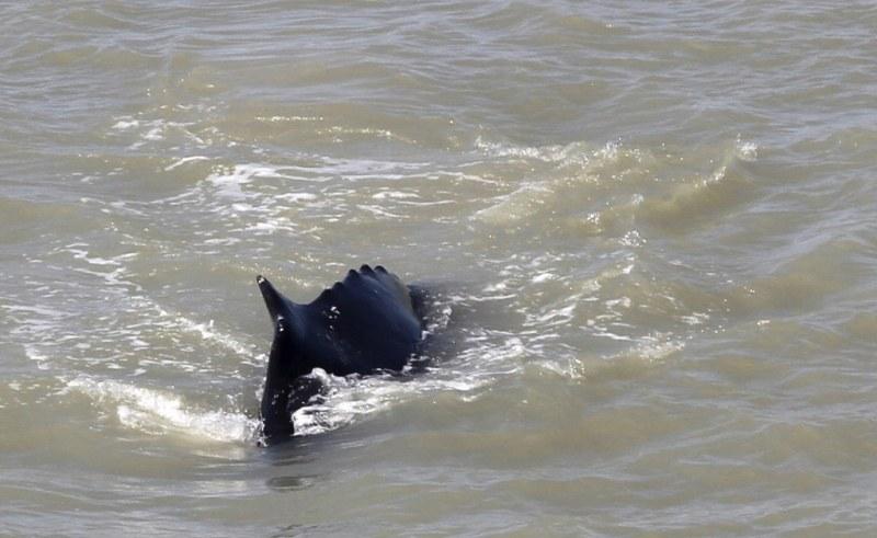 Драма! Гърбат кит заседна в река, пълна с… крокодили ВИДЕО