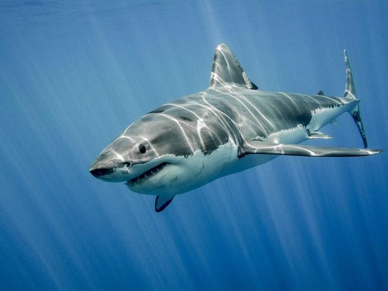Прецедент: Откриха акула без зъби и кожа!   СНИМКИ