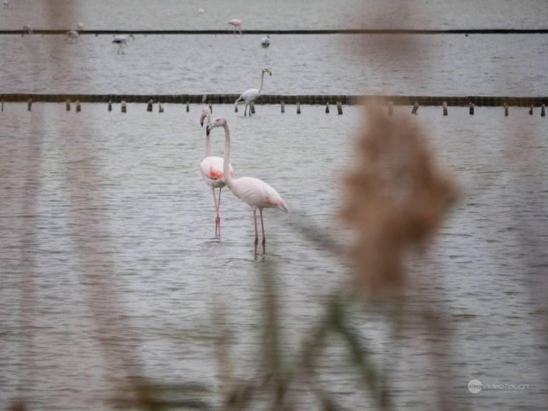 Фламинго! Не едно, а десетки щракнаха в Бургас СНИМКИ