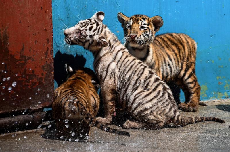 Роди се Янек - тигърче с рядък бял цвят