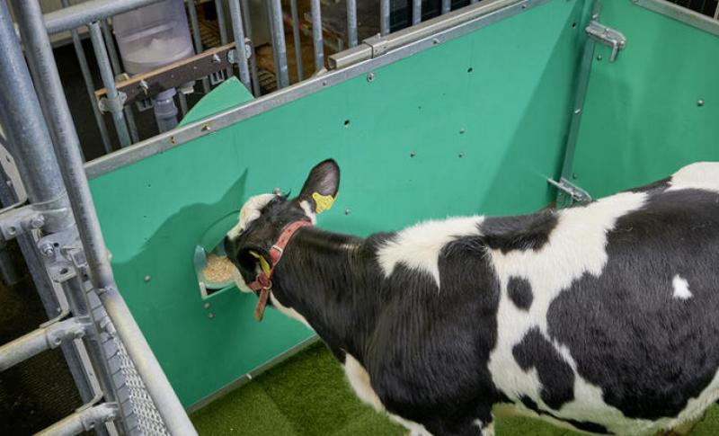 Невиждана гледка: Крави на гърне! Научили се по-лесно от деца ВИДЕО