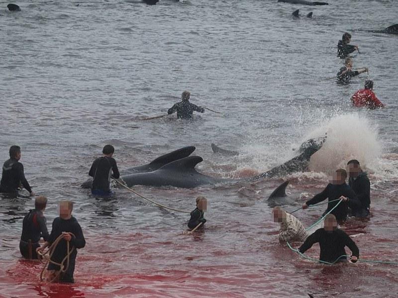 На Фарьорските острови ловци убиха 1428 делфина ВИДЕО 18+