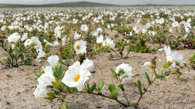Най-сухата пустиня в света цъфна! СНИМКИ