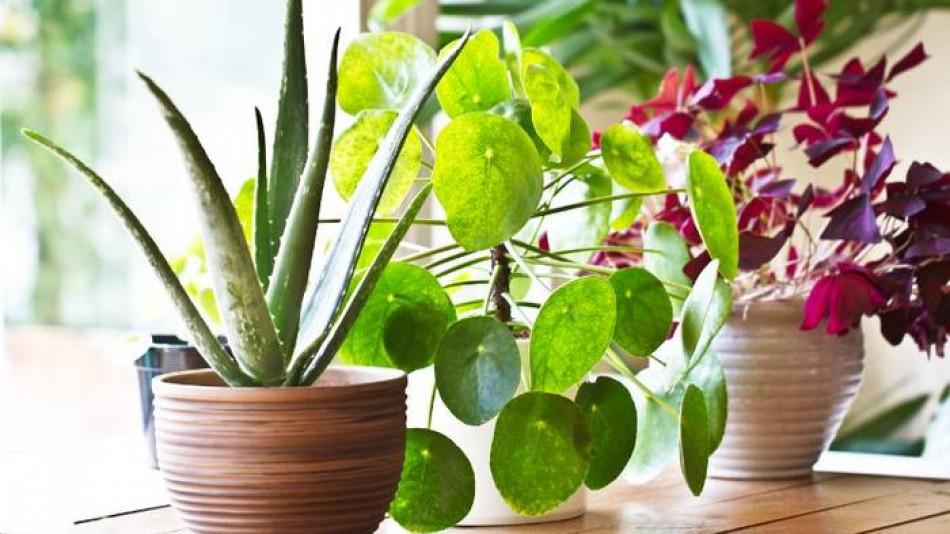 Бързо се отървете от тези растения, преди да са убили детето ви или домашния любимец