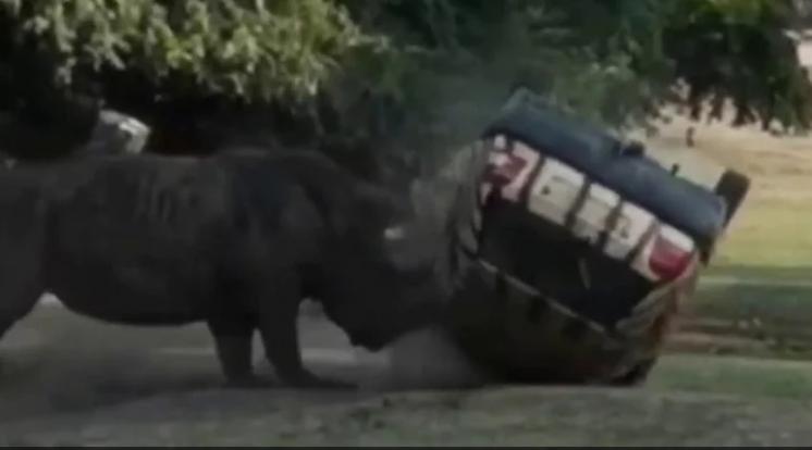 Носорог размаза колата на служителка в сафари парк!