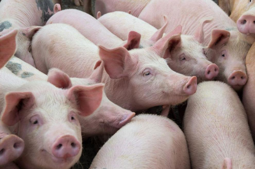 От утре започва изплащането на еднократната помощ заради чумата по прасетата