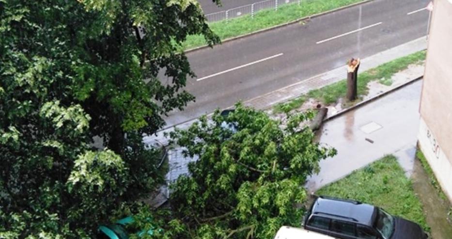 Още едно паднало дърво във Варна! Сцепено е през средата на дънера (снимка и видео)