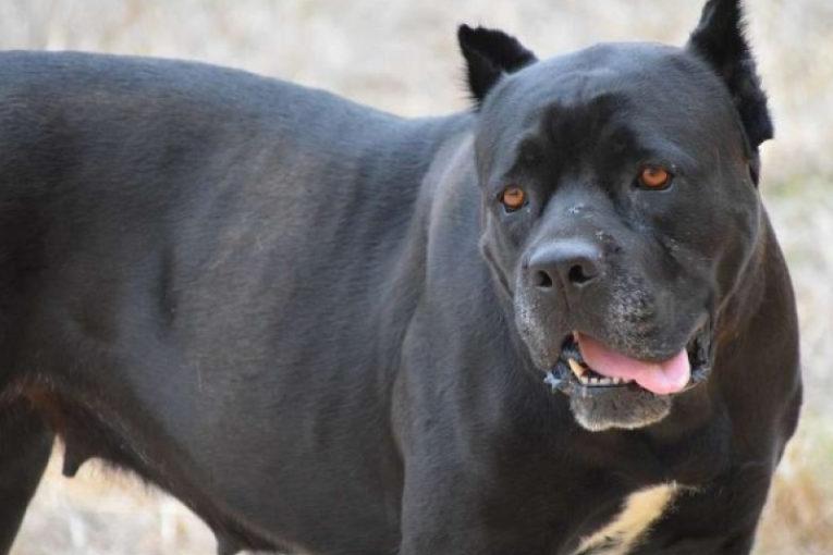 Нов кошмар с кучета Кане Корсо
